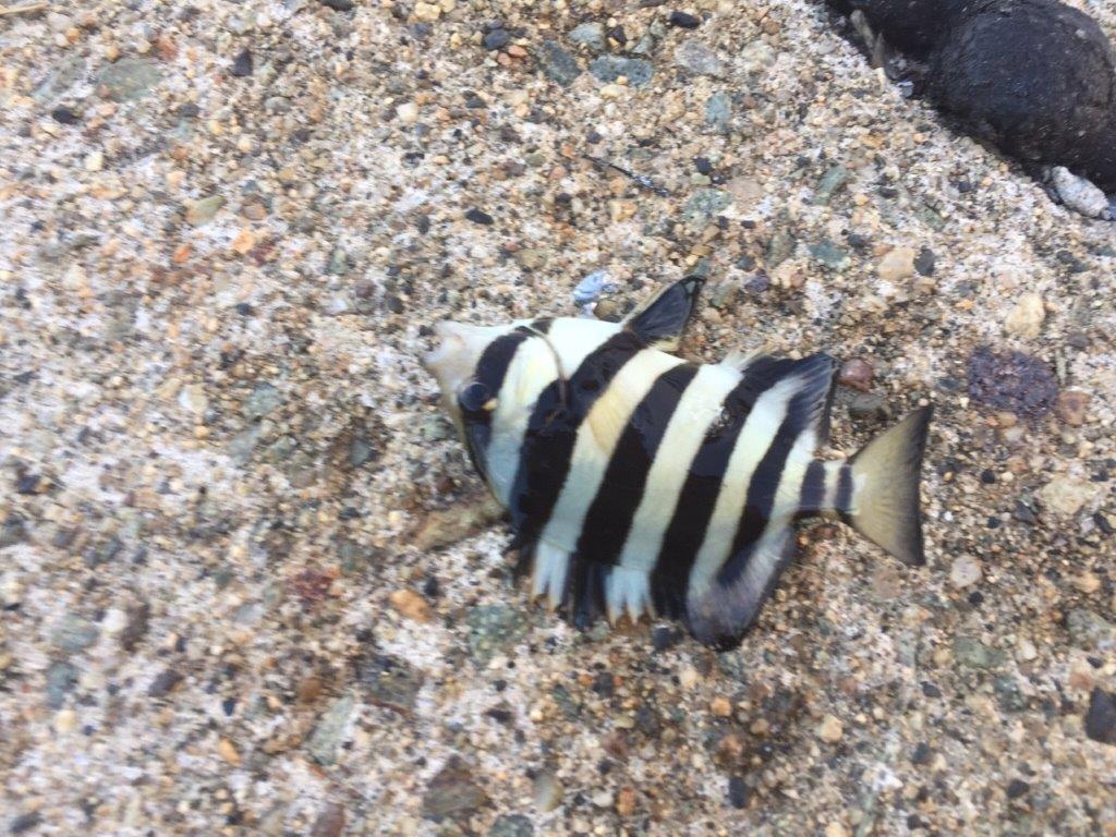 シマシマの石鯛